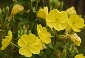 Plant Therapy Carrier Oil Evening Primrose
