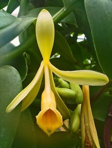 Plant Therapy Harvesting and Curing Vanilla Pods