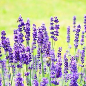 Lavender Essential Oil- A Necessity In Your Home?
