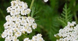 February Oil of the Month - Blue Yarrow