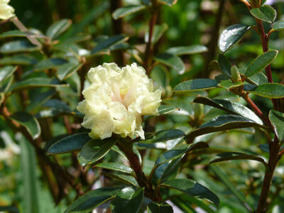 July Oil of the month- Rhododendron - Naturally Blended