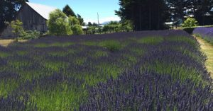 A New Respect for Lavender
