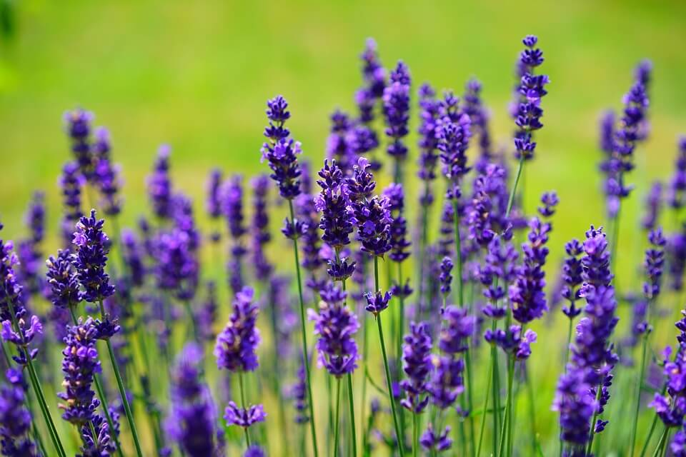 Plant Therapy Lavender