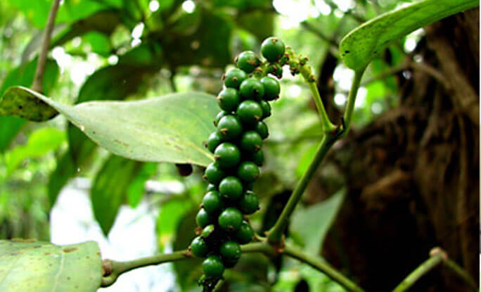 Plant Therapy black pepper plant