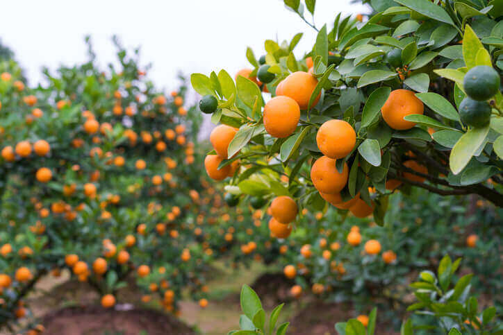 Kumquat Essential Oil Plant Therapy Aromatherapy Orange