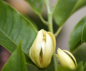 April Essential Oil of the Month: Magnolia Flower