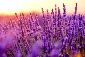 blooming lavender provence france