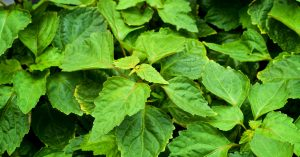 PLant Therapy iamge of large patchouli plant for Patchouli Essential Oil