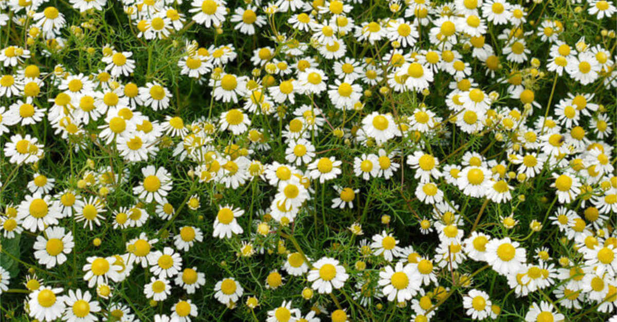 chamomile roman ground growing flowers