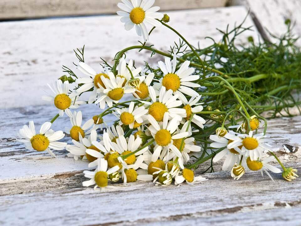chamomile german flowers