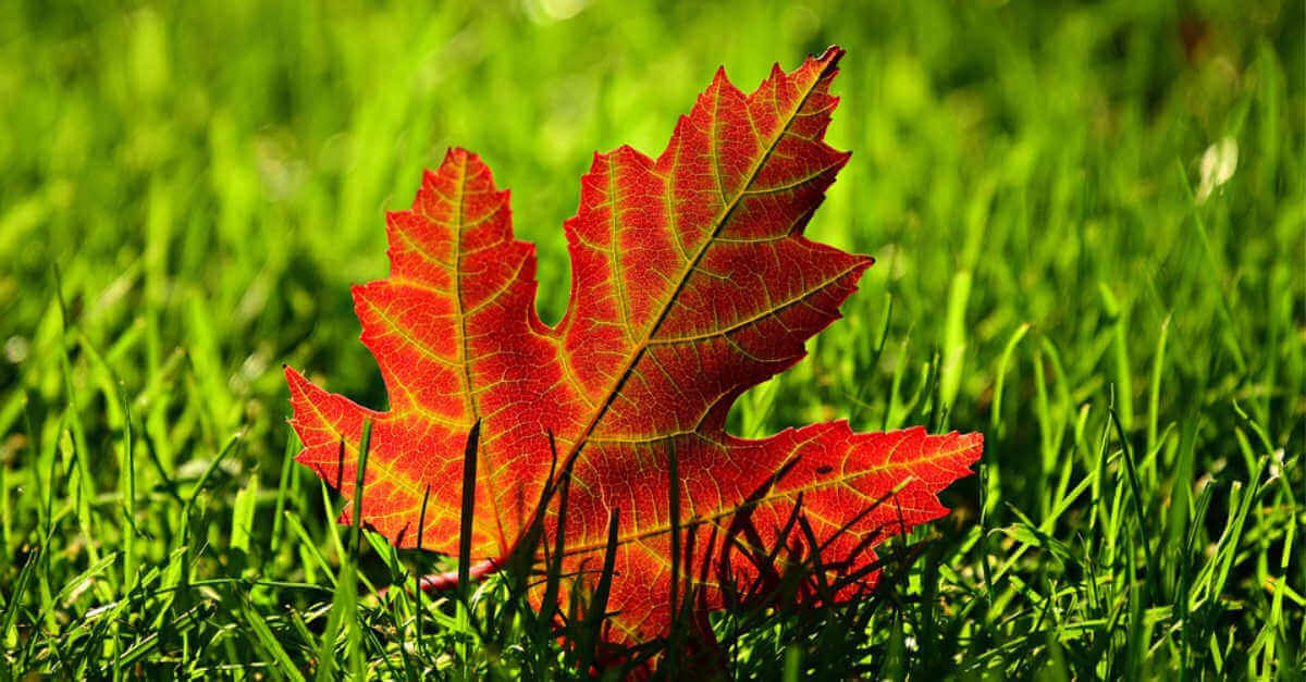 red leaf on green grass