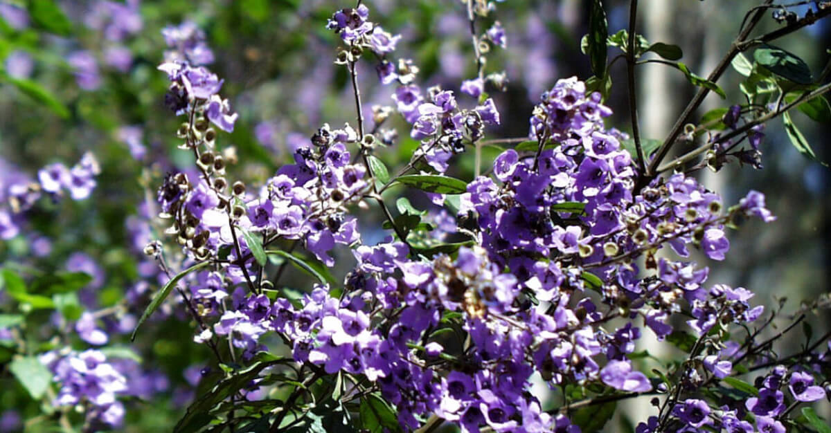 Balm Mint Bush Prostanthera melissifolia