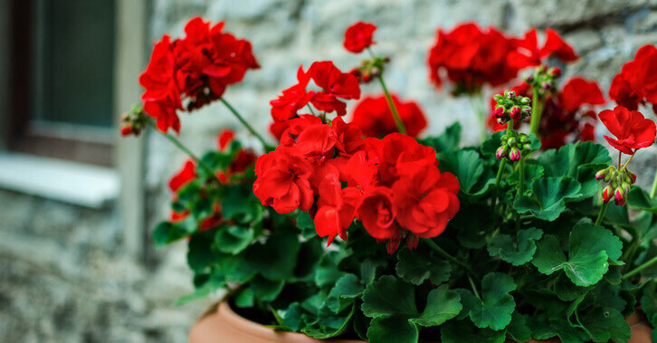 Red geranium flowers in a pot