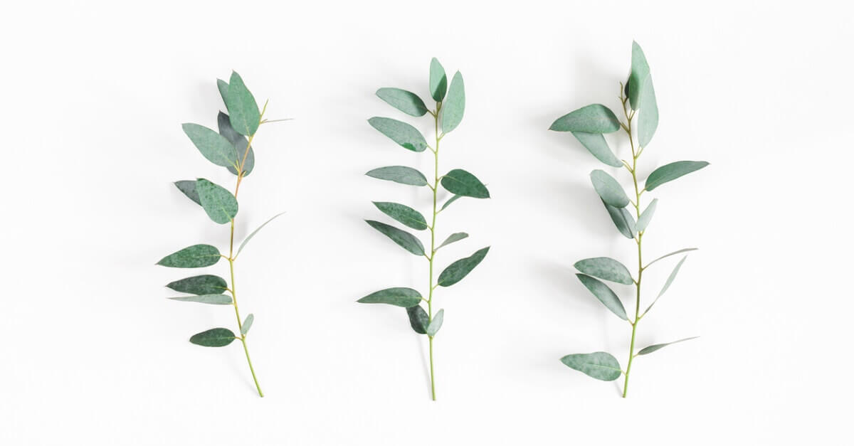 Eucalyptus Dives: Essential Oil Spotlight of the Week