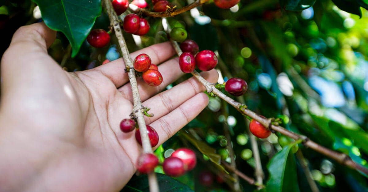Open hand holding coffee beans