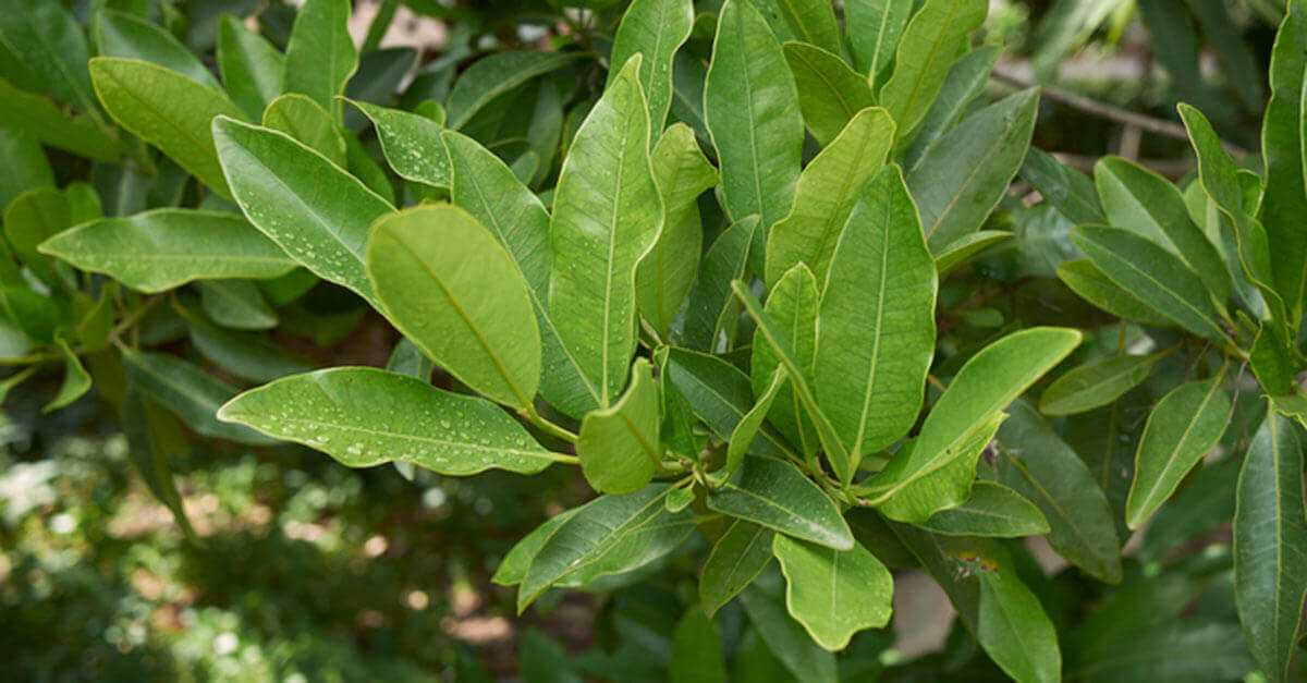 Allspice tree leaves