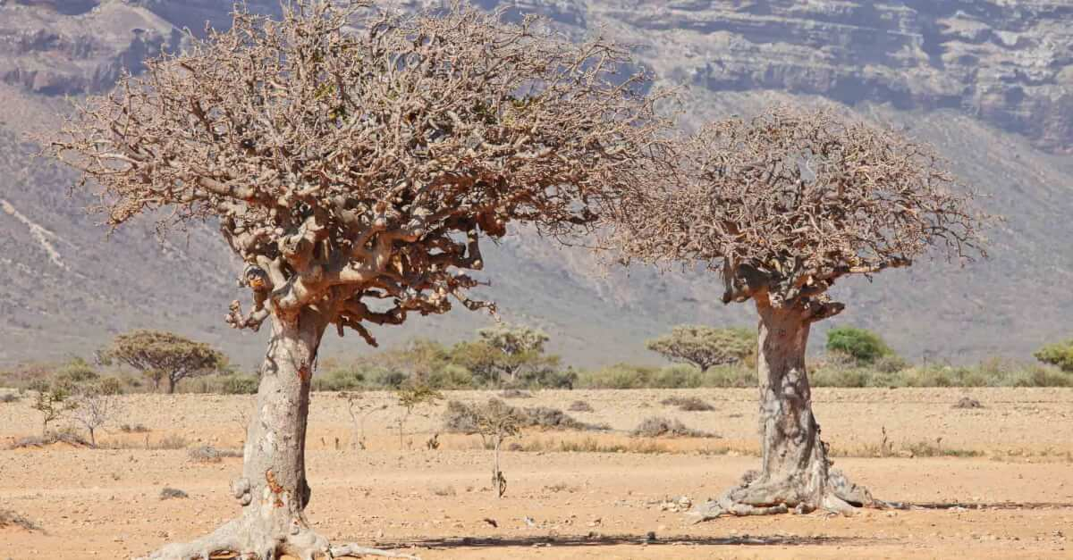Myrrh trees in the desert