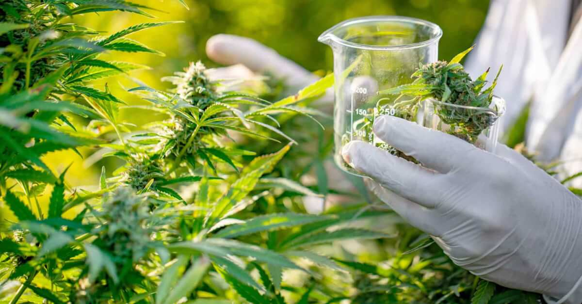 Gloved hands harvesting cannabis