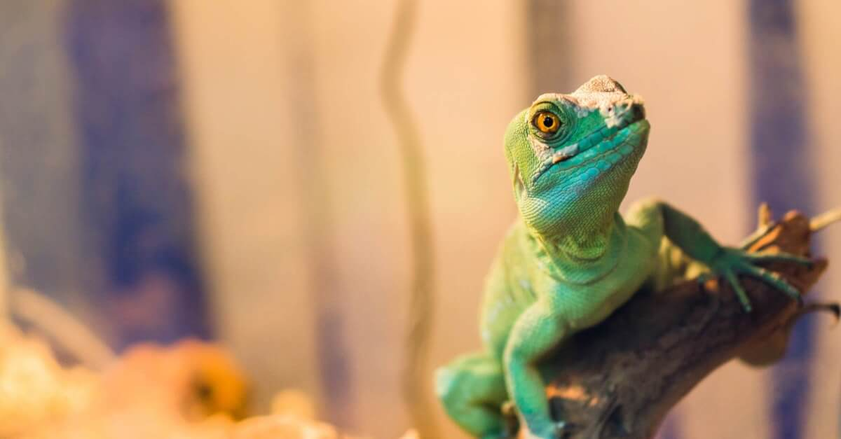 essential oils should be avoided around lizards