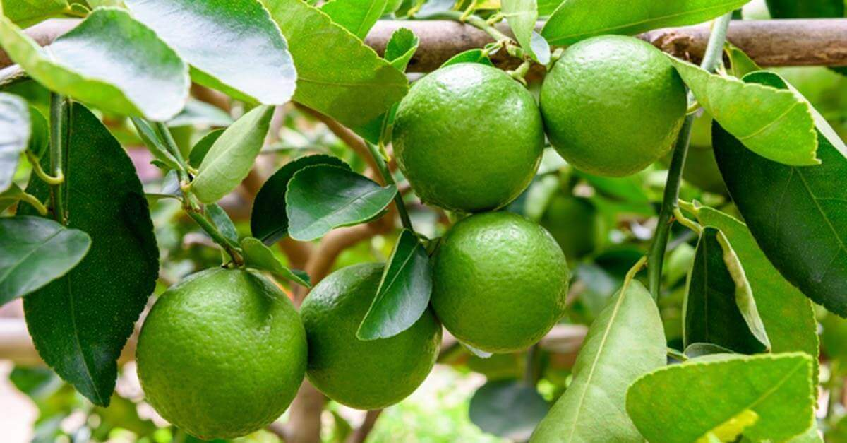 Lime fruit on a tree